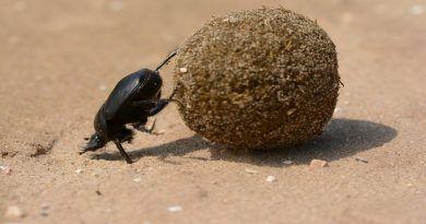 Una de las 800.000 especies de escarabajos